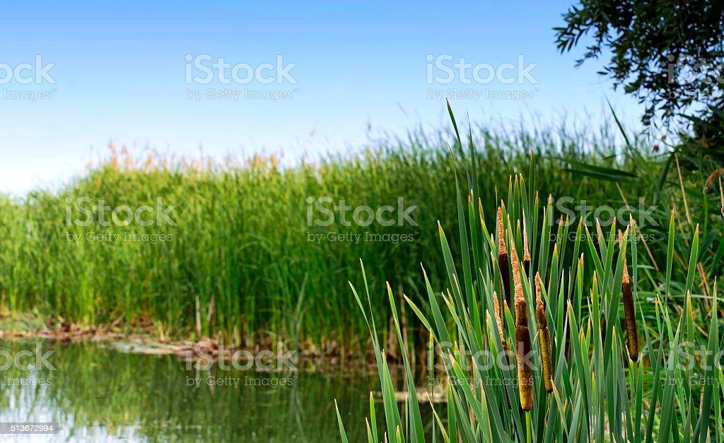 Sedge at Lake Balaton, Hungary stock photo