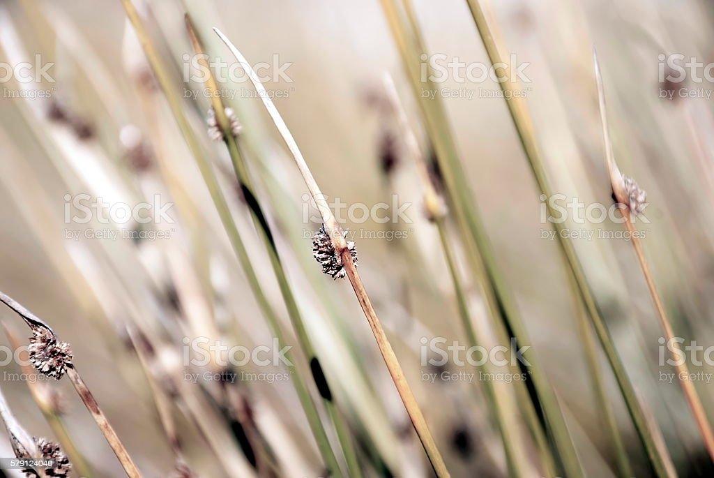 Sedge Background - Ficinia Nodosa or Knobby Club Rush stock photo
