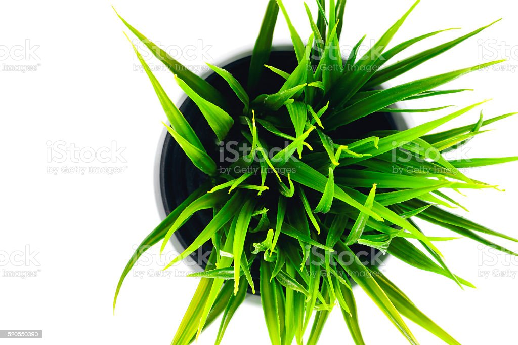 Sedge in a pot on a white background stock photo