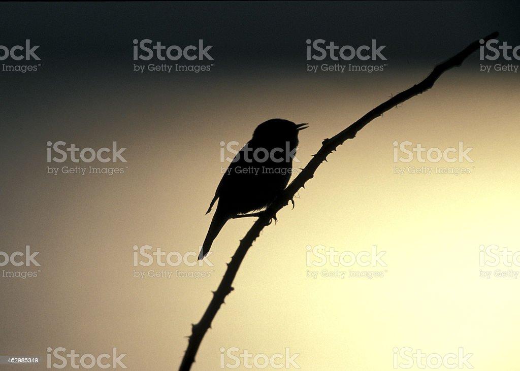 Sedge warbler, Acrocephalus schoenobaenus stock photo