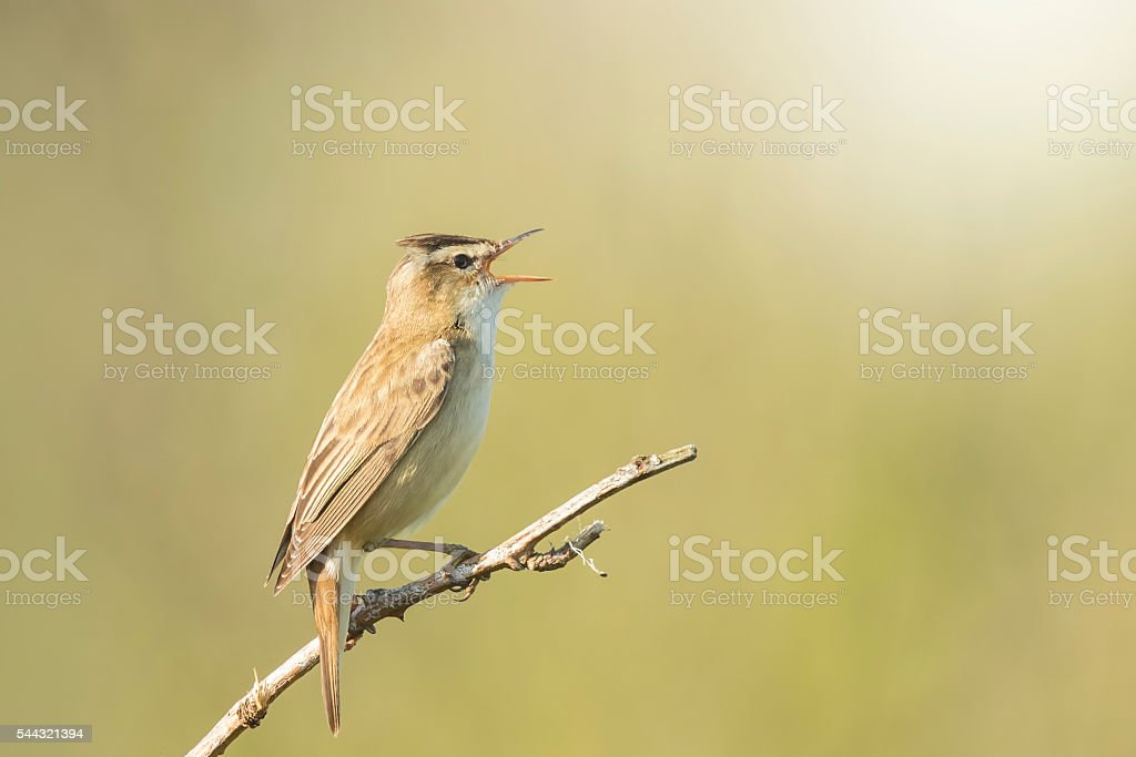 Sedge Warbler, Acrocephalus schoenobaenus, singing stock photo