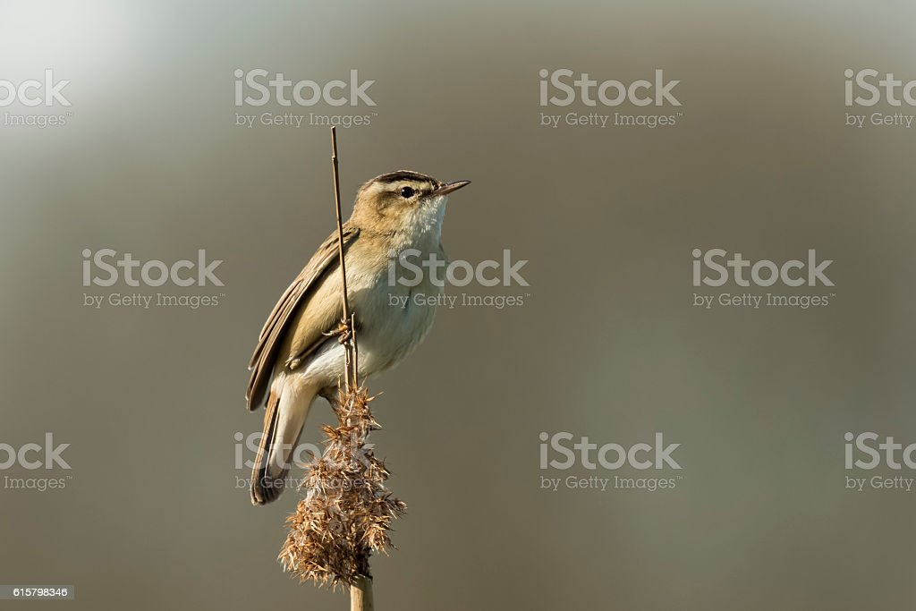 Sedge Warbler, Acrocephalus schoenobaenus, singing stock photo