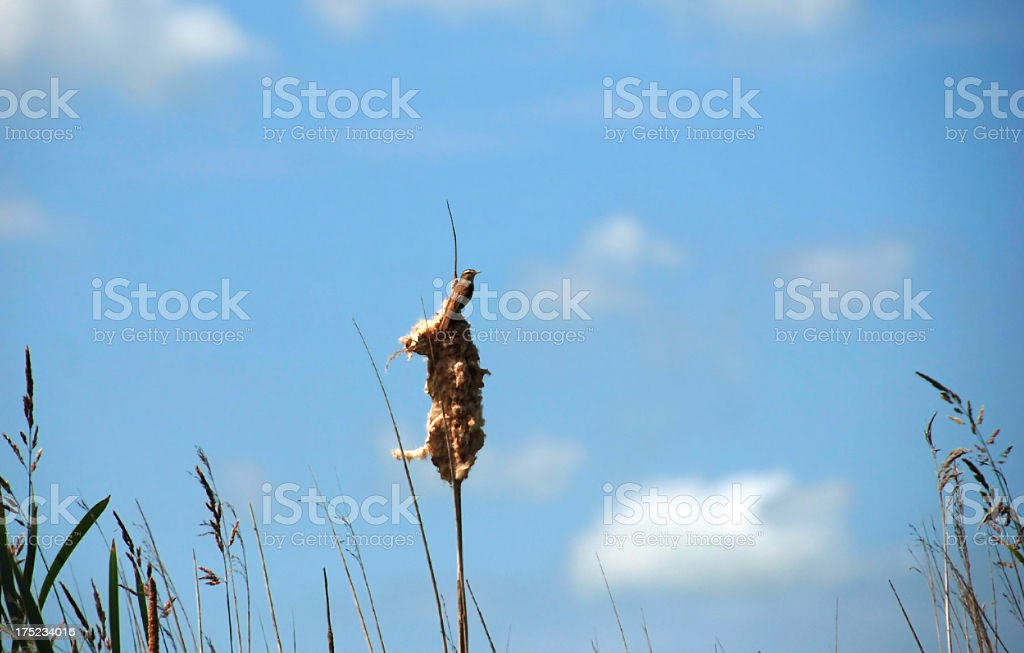 Sedge Warbler against a blue sky stock photo