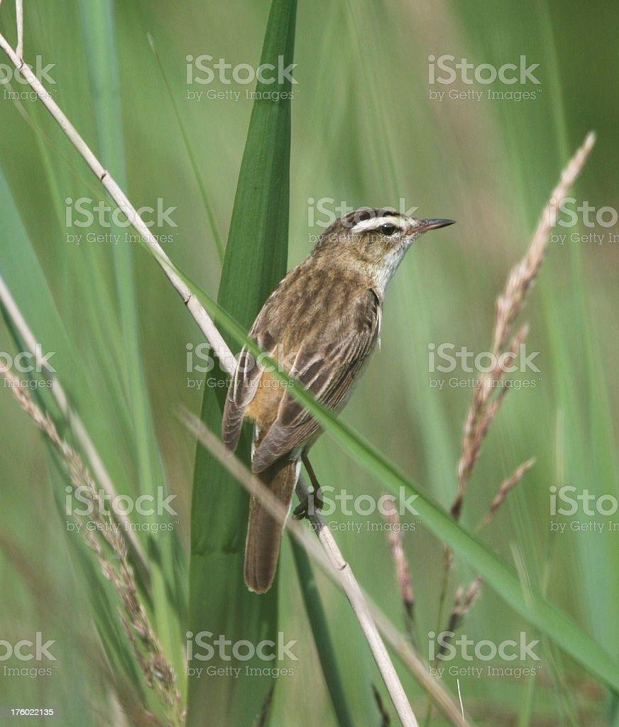 Sedge Warbler closeup in reeds stock photo