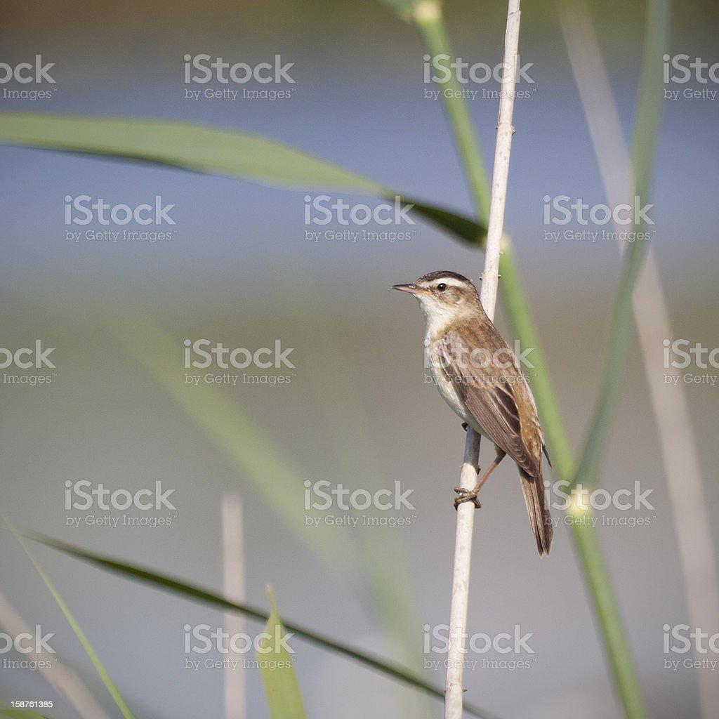 sedge warbler close-up stock photo