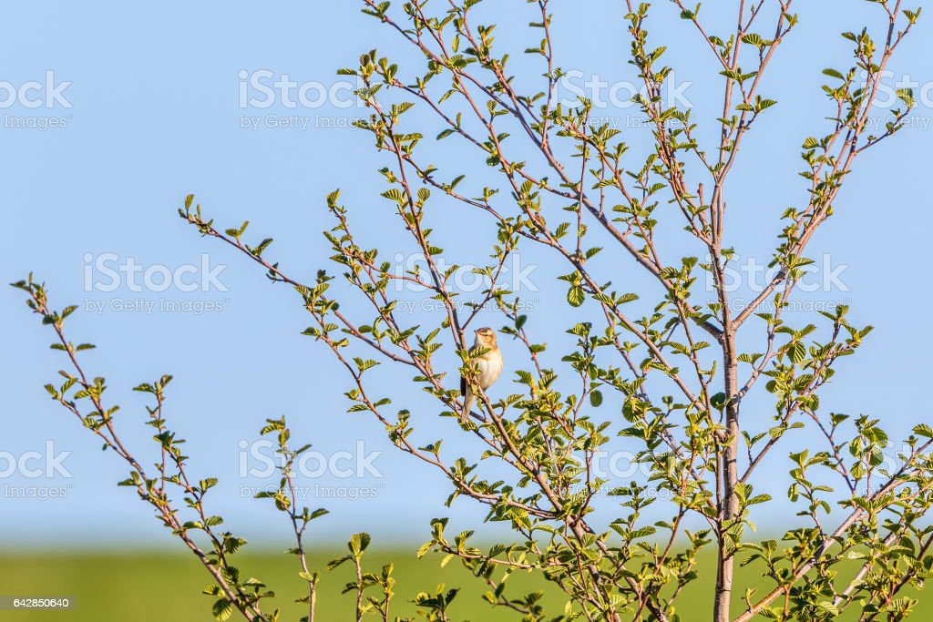 Sedge Warbler on a branch in a tree stock photo
