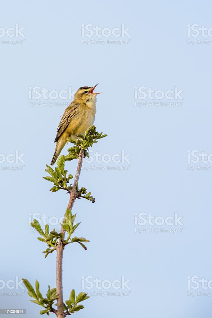Sedge warbler (Acrocephalid warbler) stock photo