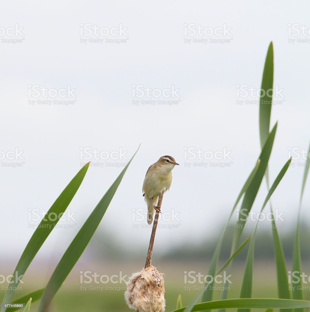 Sedge Warbler (Acrocephalus schoenobaenus) stock photo