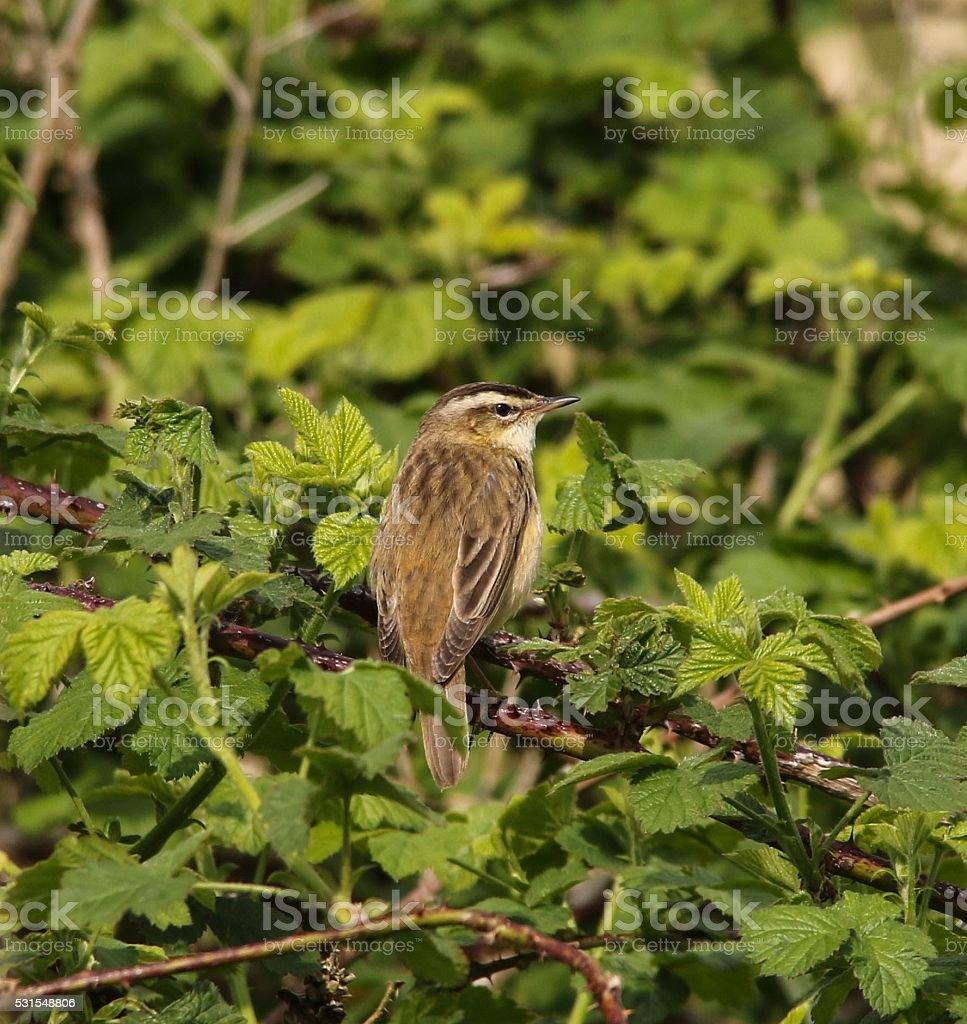Sedge Warbler stock photo