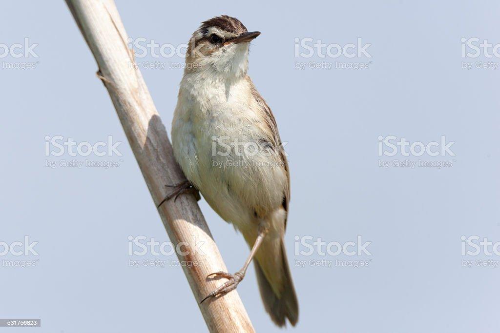Sedge Warbler (Acrocephalus schoenobaenus). stock photo