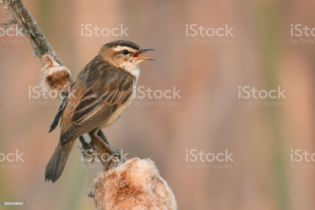Sedge Warbler stock photo