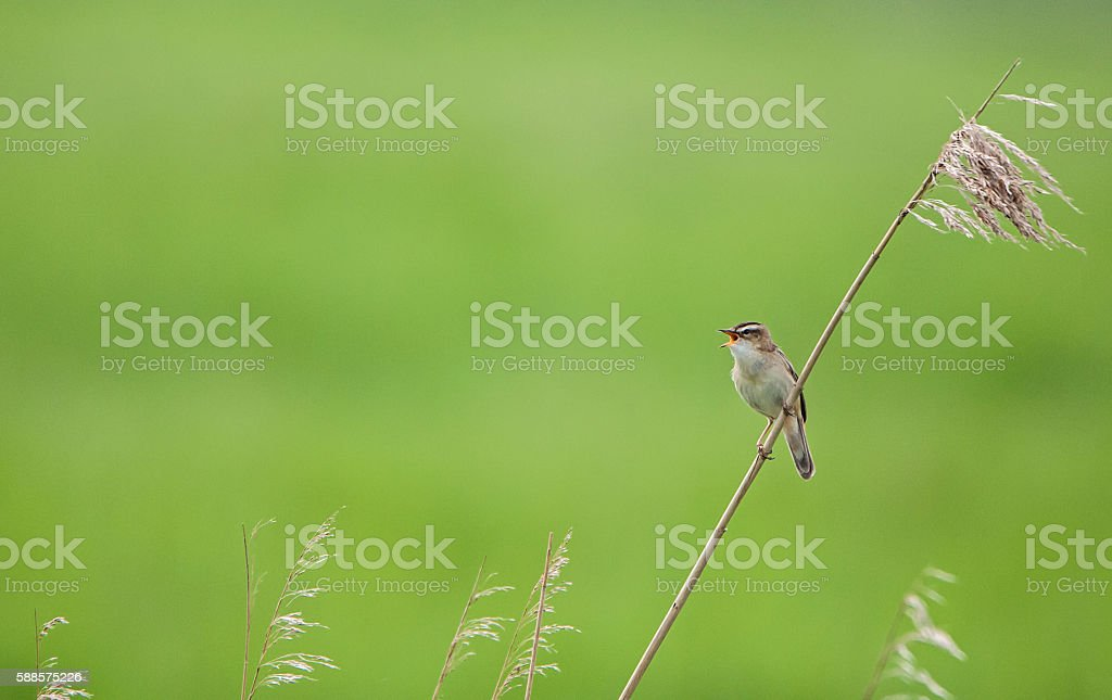 sedge warbler sitting on a blade of grass and chirping stock photo
