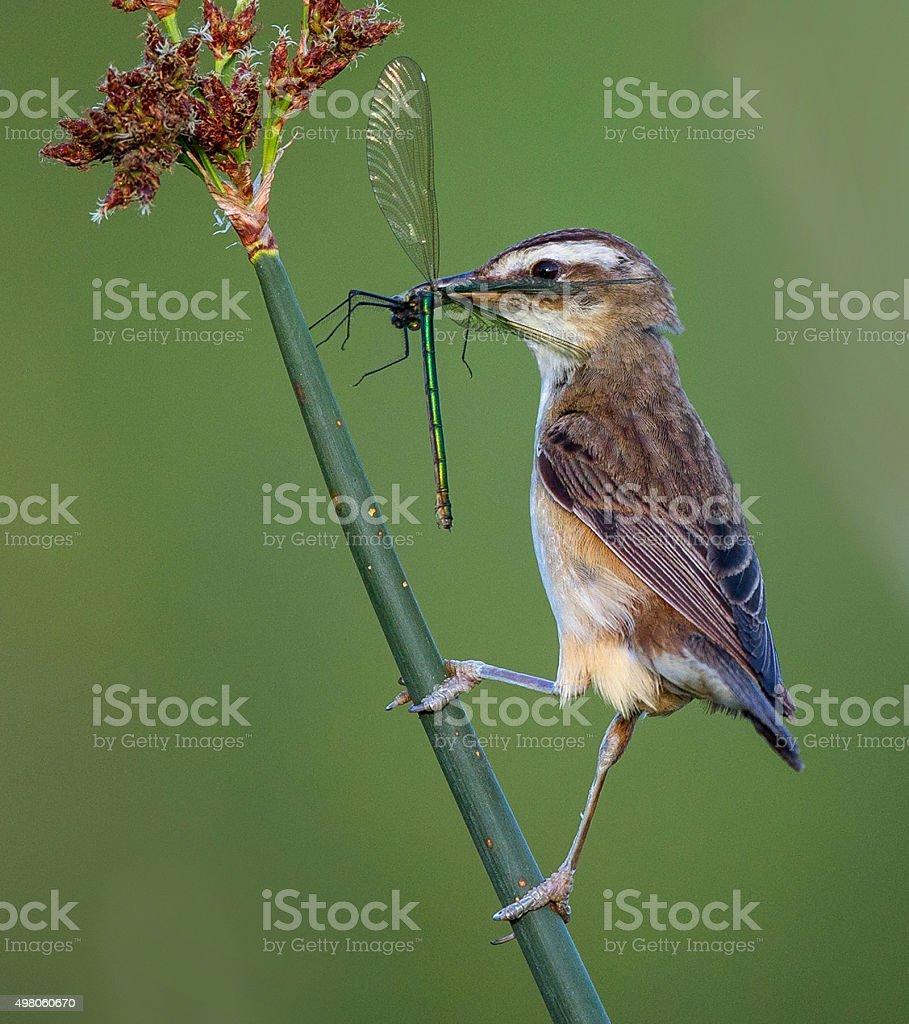 sedge warbler with  demoiselle stock photo