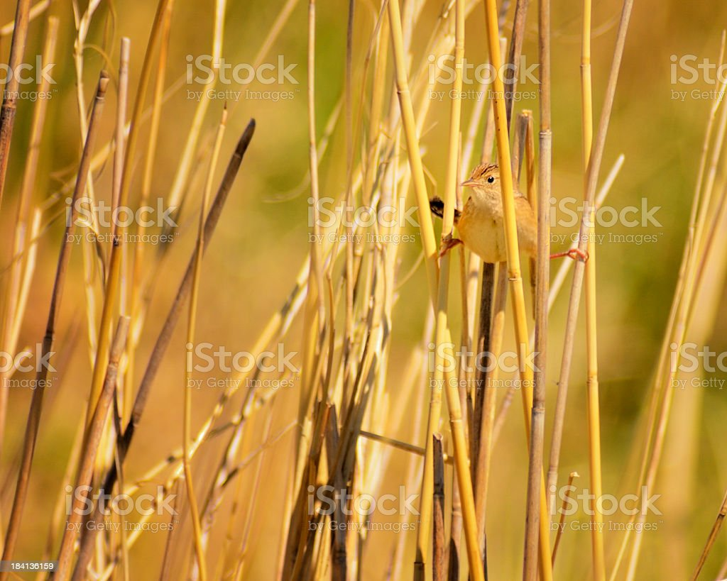 Sedge Wren, Cistothorus platensis, Straddling royalty-free stock photo