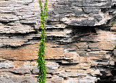 Sedimentary rock strata, rock-wall liana, Caverne Patate, Rodrigues island, Mauritius