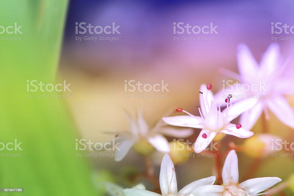 Sedum Album flower with copy space stock photo