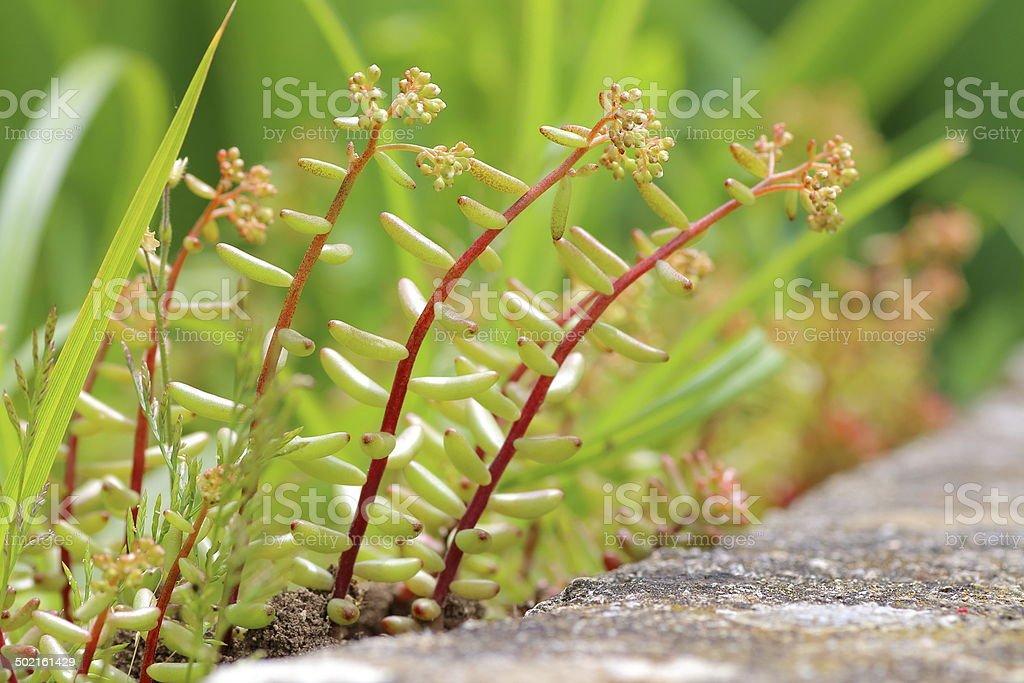 Sedum Album plant stock photo