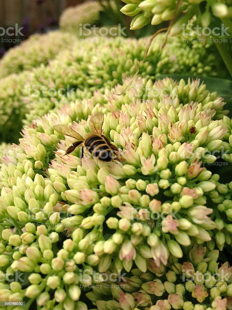 Sedum 'Autumn Joy' and Bee stock photo