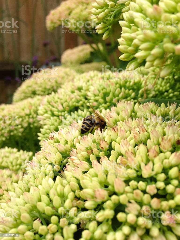 Sedum Flower 'Autumn Joy' and Bee stock photo