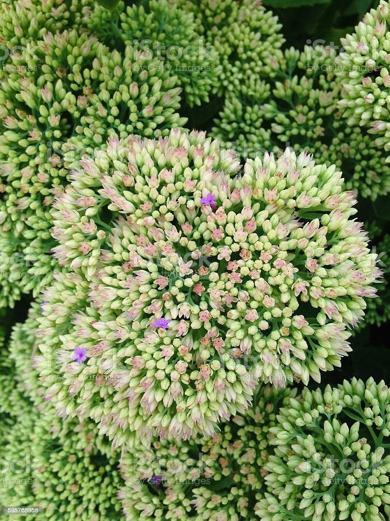 Sedum Flower 'Autumn Joy' stock photo