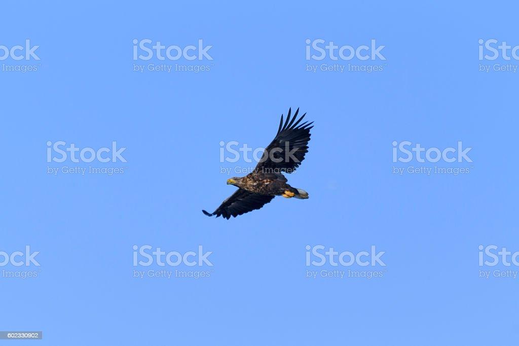 Seeadler stock photo