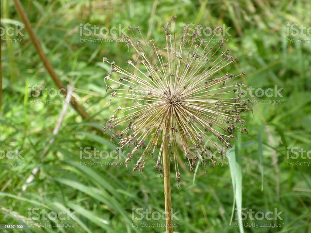 Seed head - Allium stock photo