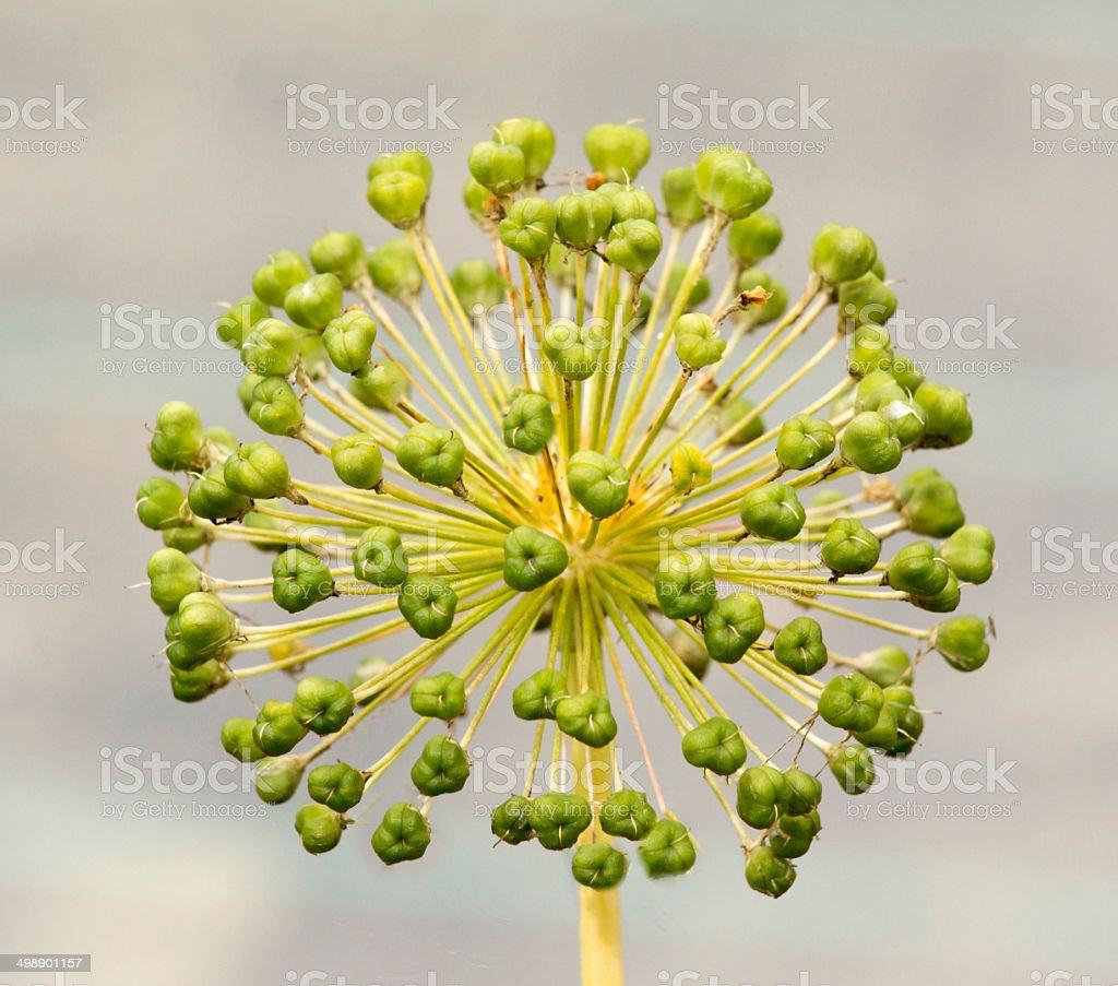 Seed Head of an Allium stock photo