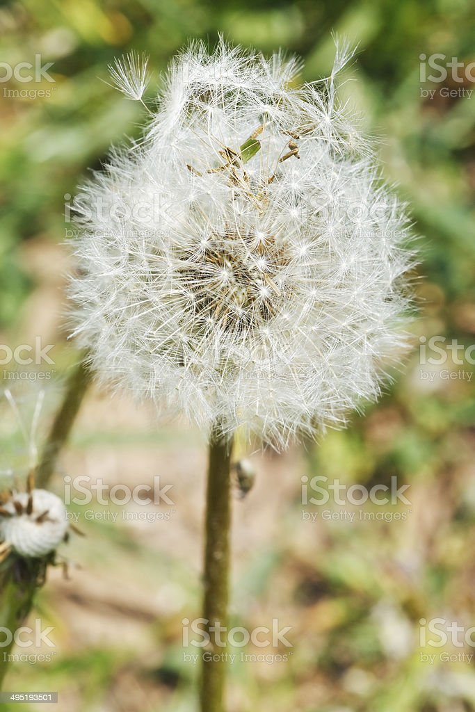 seed head of dandelion blowball royalty-free stock photo