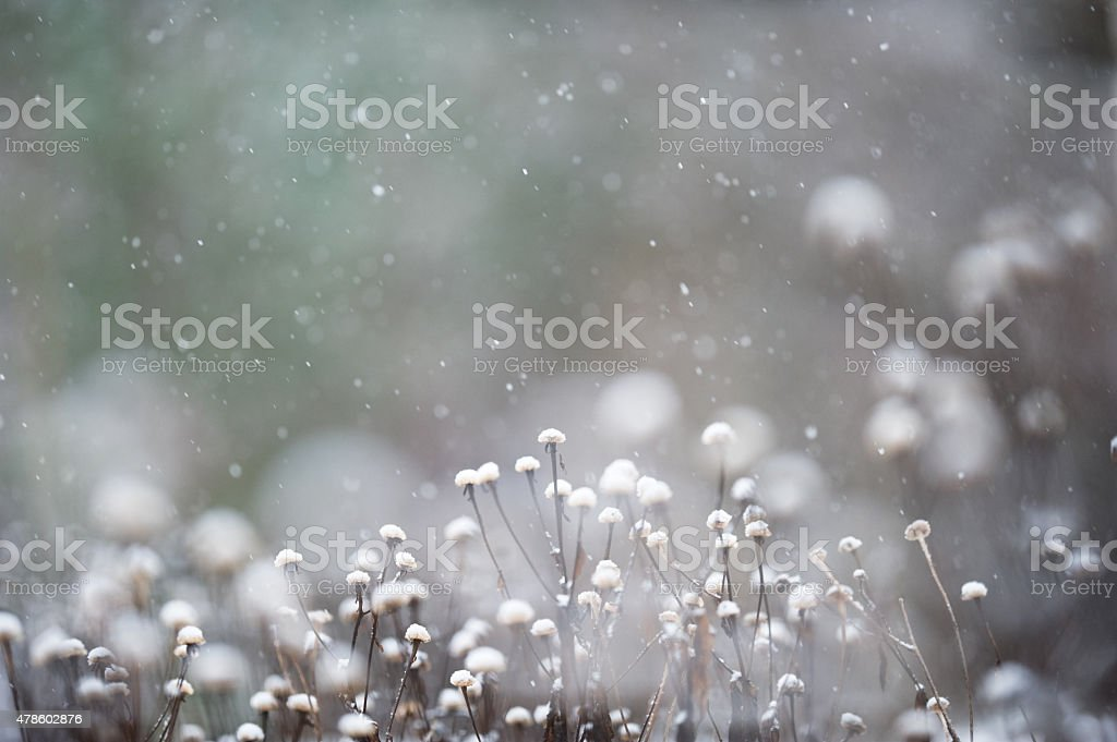 Seed heads in snowfall stock photo