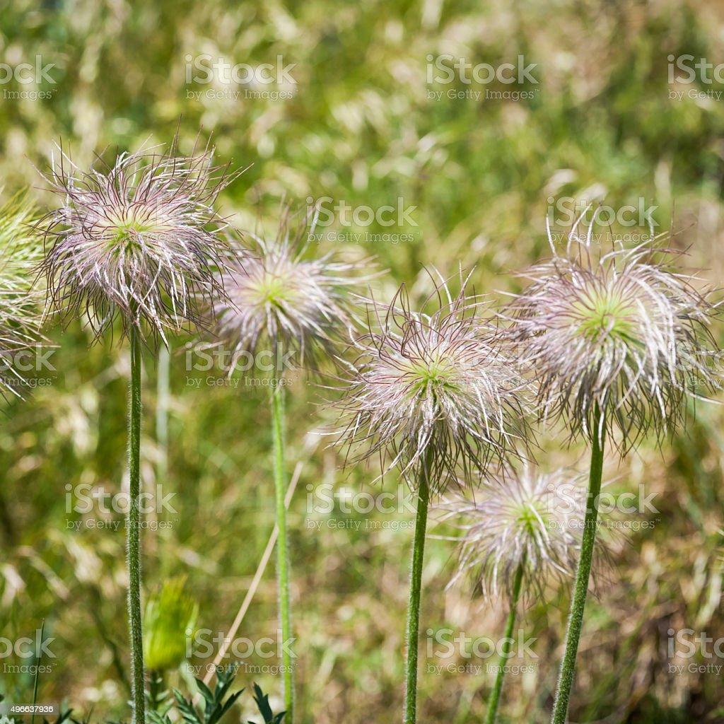 Seed Heads of European Pasqueflower stock photo