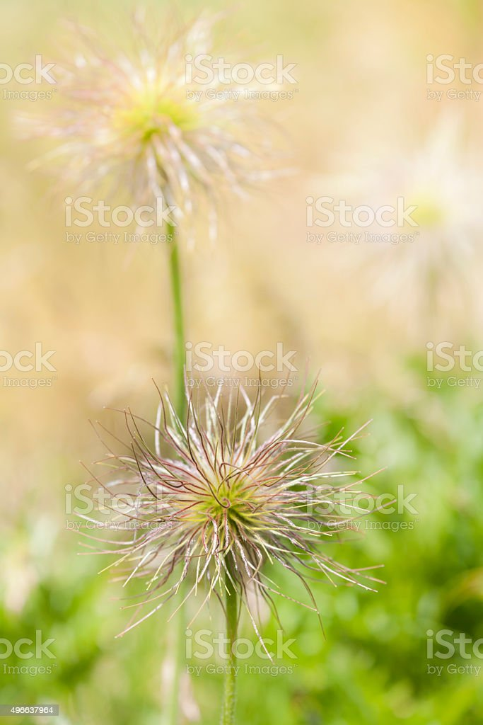 Seed Heads of European Pasqueflower stock photo