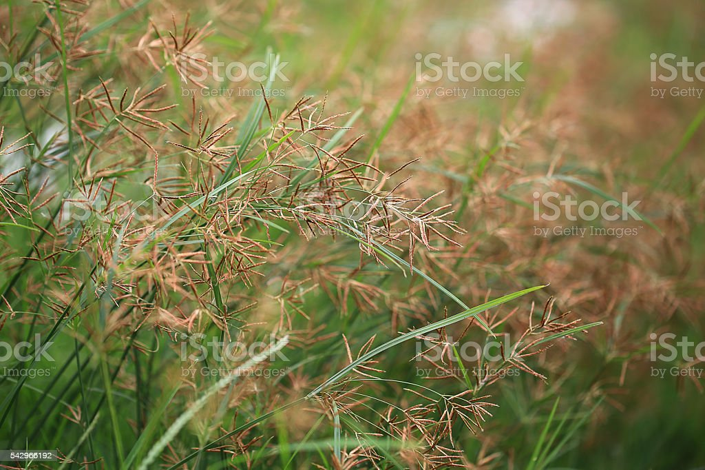 Seed of Cyperus rotundus stock photo