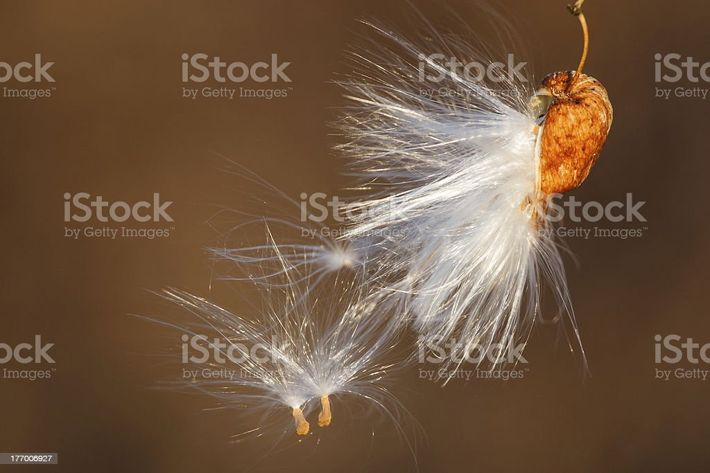 seed pod with seeds stock photo