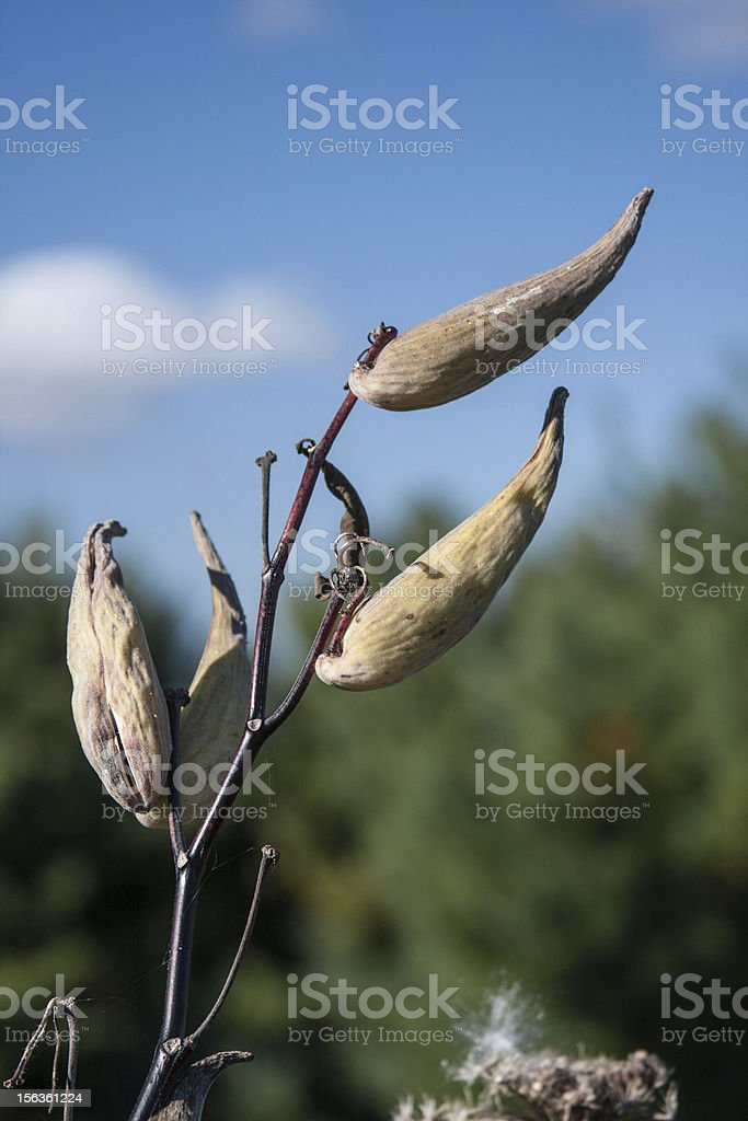 Seed Pods against Blue Sky royalty-free stock photo