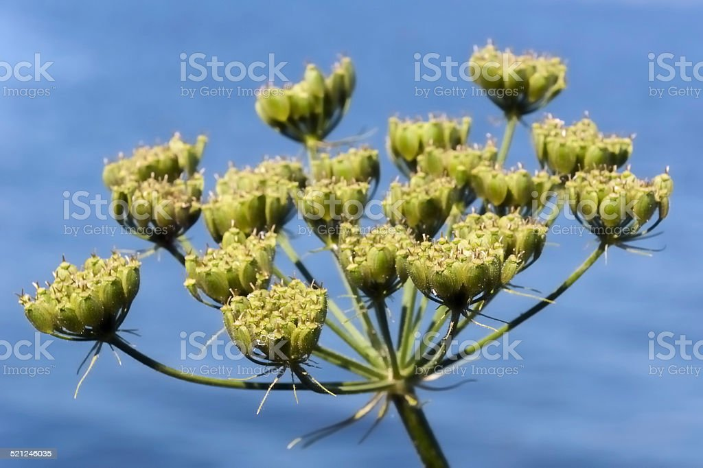 Seed pods of Common Hogweed at a riverside stock photo