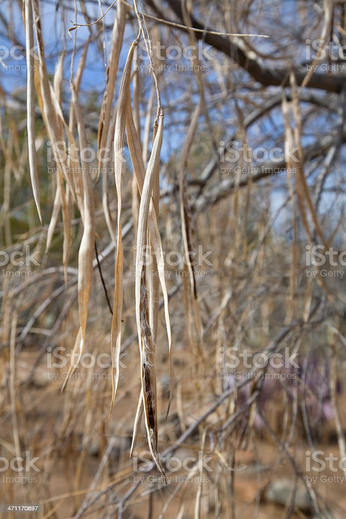 Seed Pods of Desert Willow in Winter royalty-free stock photo
