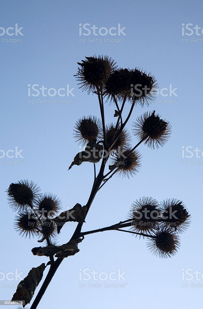 Seed pods of Greater burdock on blue sky stock photo
