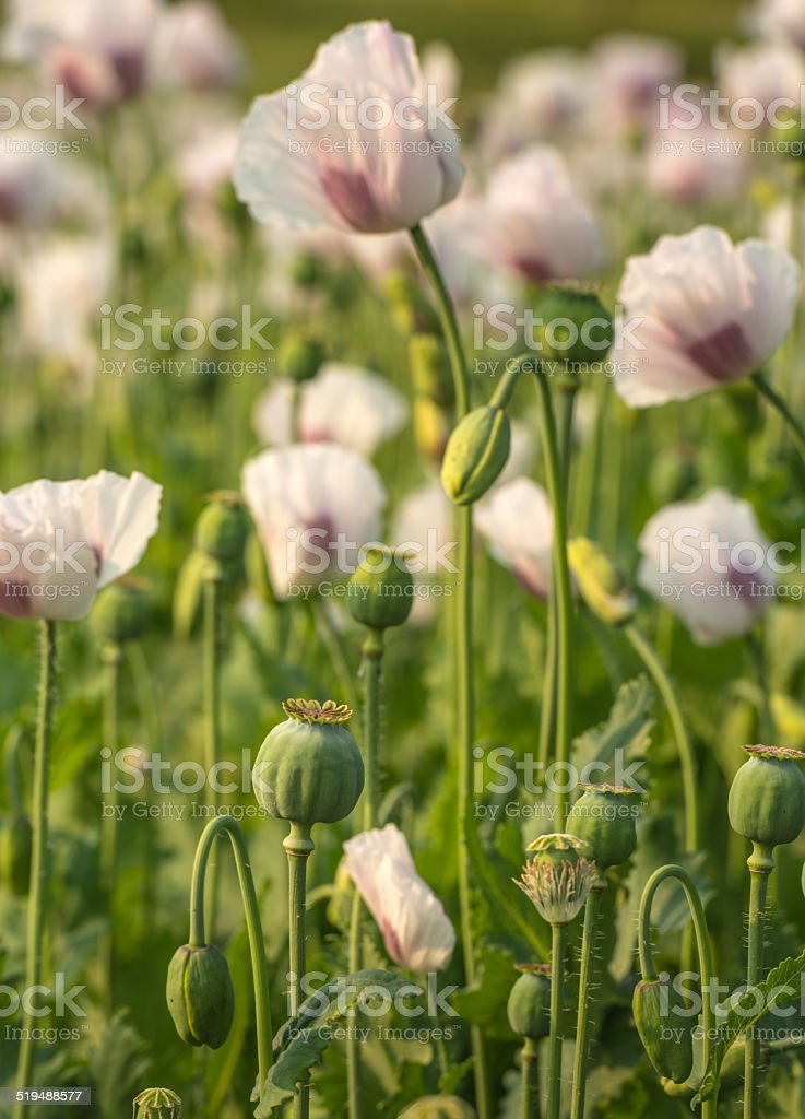 Seed pods of white and purple colored poppies stock photo