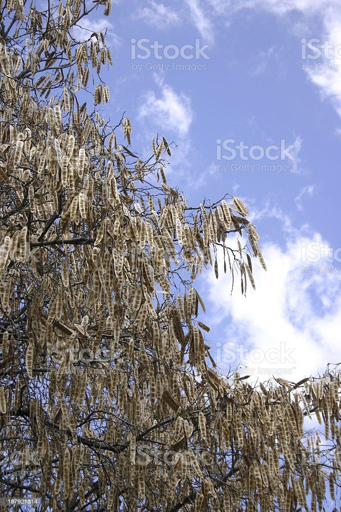 Seed Pods on Honey locust (Gleditsia triancanthos) royalty-free stock photo