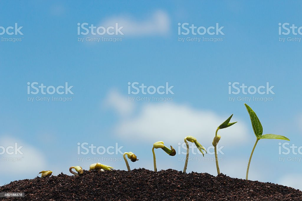 seed row growing on soil stock photo
