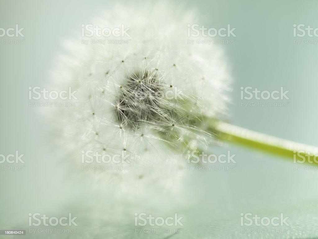 Seed soft dandelion royalty-free stock photo