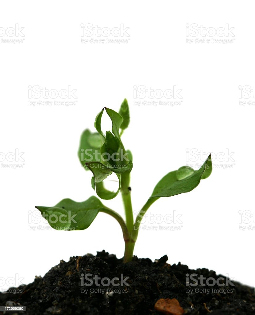 Seed Sprouting Growth with Dew Drops royalty-free stock photo