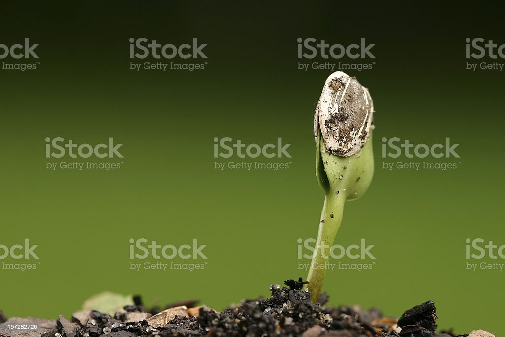 Seed Sprouting royalty-free stock photo
