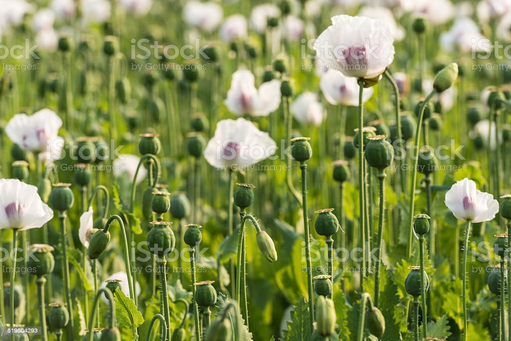 Seedheads of white and purple colored poppies in a field stock photo
