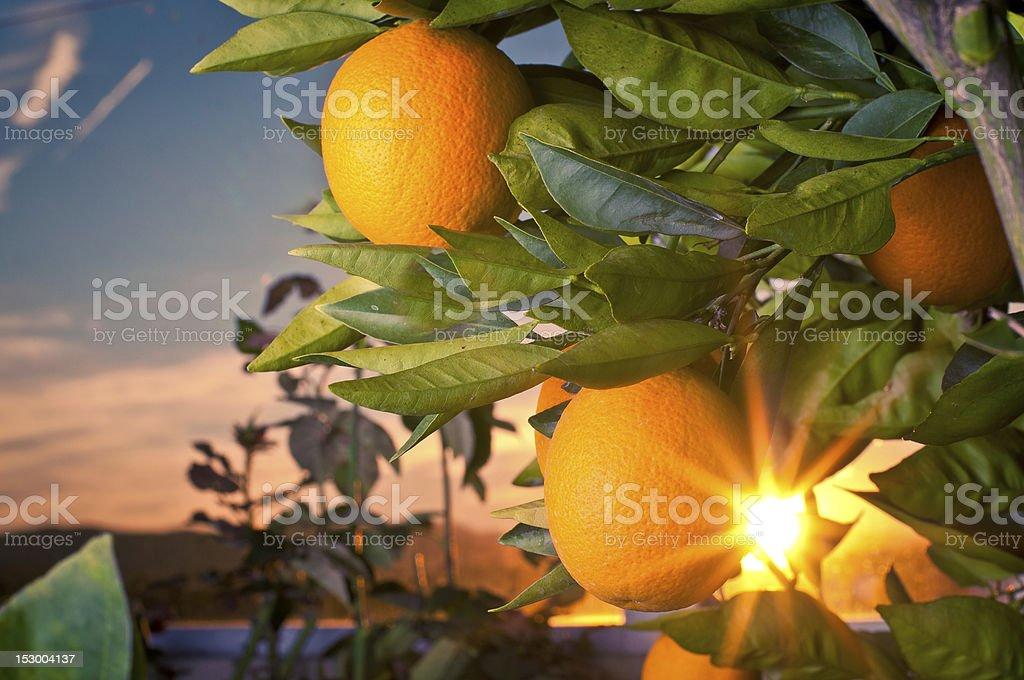 Seedless Valencia Oranges stock photo