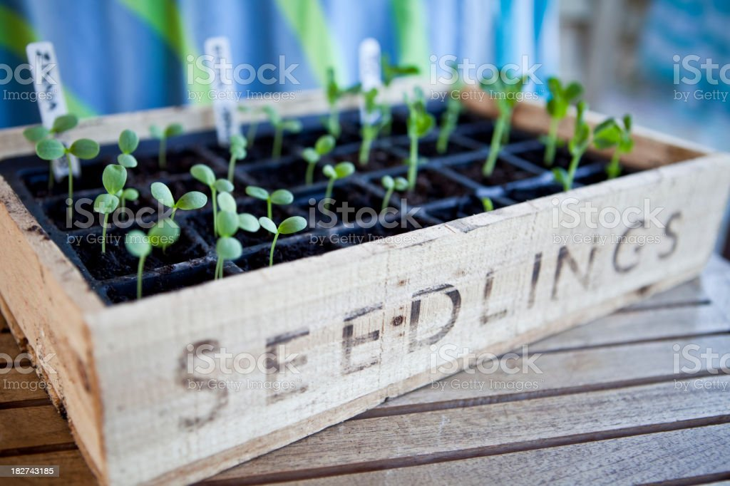 Seedling Box Tray in Greenhouse royalty-free stock photo