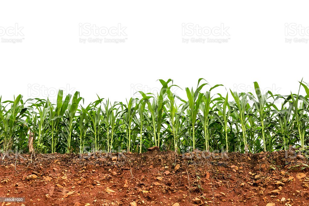 seedling corn field on red lateritic soil cross section stock photo