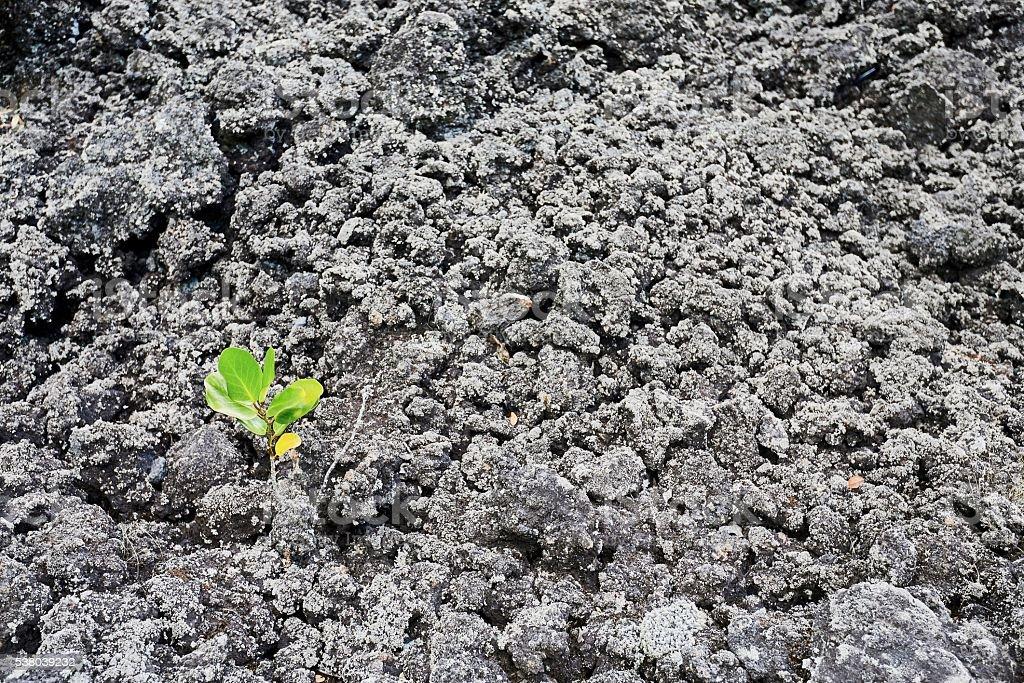 Seedling emerging from barren lava rock stock photo