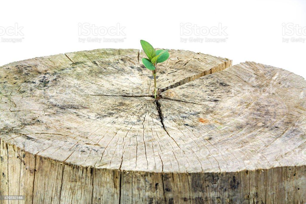 Seedling growing in a timber isolated on white background royalty-free stock photo