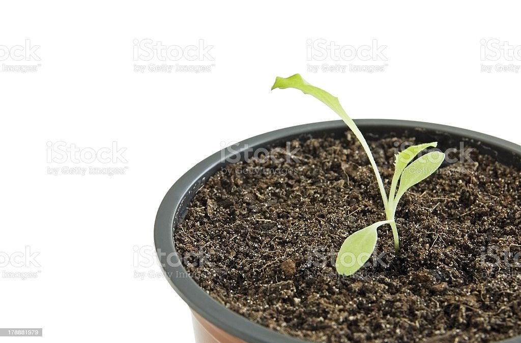 Seedling in pot royalty-free stock photo